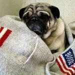 Snug as a Pug in a Sweater