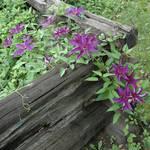 purple flower on split rail fence