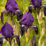 Purple Iris ..