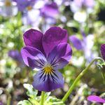 purple pasy