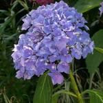 Purple snowball bush