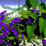 Window box of pretty violas