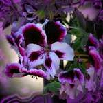 Martha Washington Geranium - Purple Pleasures