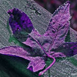 Purple leaf