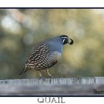 Quail