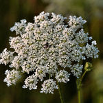 Queen Anne's Lace, Evening Sun