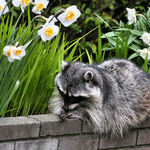 Raccoon Resting beside Daffodils