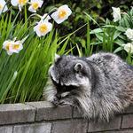 Raccoon Resting beside Daffodils