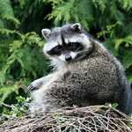 Mama Raccoon (wild)