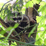 Raccoon Babies in the wild - note tail tips below branch