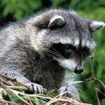 Raccoon youngster, wild