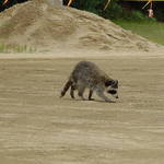 Racoon @ the race track