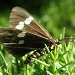 Ragwort Butterfly