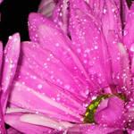 Raindrops on Pink