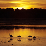 Spoonbills feeding at sunset