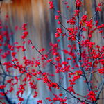 Red Berries Decorate the Winter
