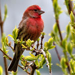 Red Finch of Springtime