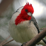 Red-headed Cardinal