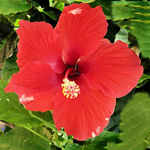 Red Hibiscus as Oil Painting