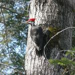 Red hood woodpecker