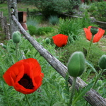 Red Poppies In Fence 1