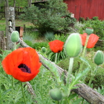 Red Poppies In Fence 3