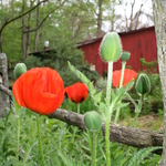 Red Poppies In Fence 4