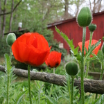 Red Poppies In Fence 5