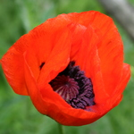 Red Poppy 1