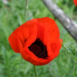 Red Poppy 2