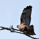 Red Tailed Hawk at moment of liftoff