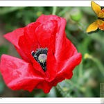 Red, Wild Poppy