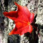 one red leaf