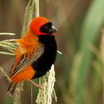 Red Bishop
