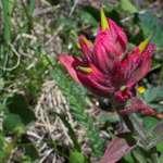 Red Uinta Flower