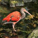 Red Ibis, different markings