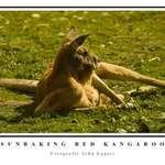 Sunbaking Red Kangaroo