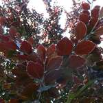Sunlit Red leaves