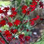 Last of the Red Maple Leaves