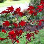 Red Leaves, another view