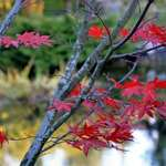 Red Leaves, the last few