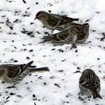 redpoles ny winter