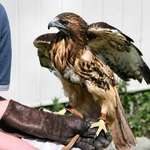 "Red Tailed Hawk ""Ladyhawk"""