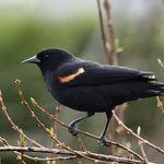 Redwinged Blackbird male 2008