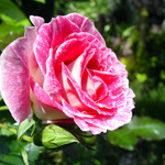 Regensburg Rose