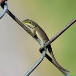 Chain Link Visitor