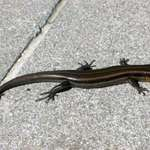 Holy Lizard :P