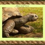 Alapos Land Tortoise