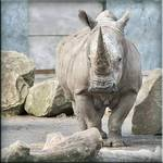 Rhino in his pen