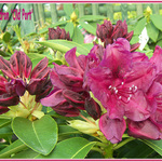 Rhododendron 'Old Port'